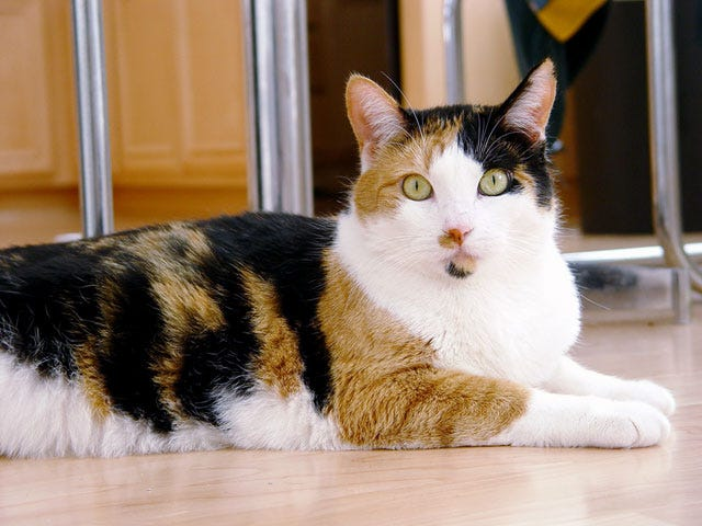 Cool Calico Cat Facts